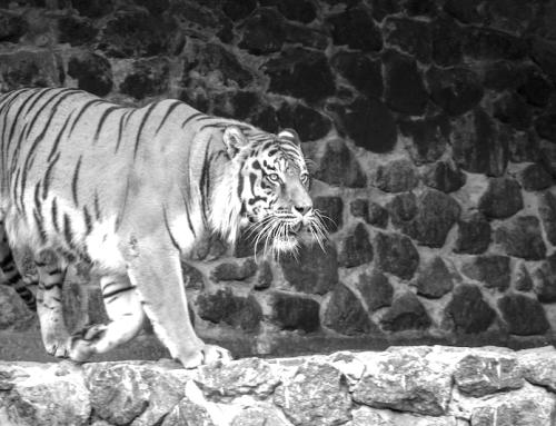 Sei nicht wie der Mann mit den Tigern (eine kurze Geschichte)